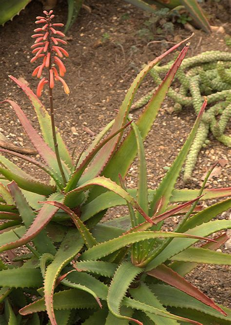 heat l for plants aloe on africa capes and succulents garden
