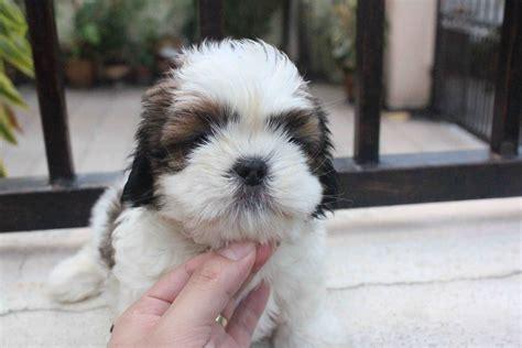 shih tzu poodle puppy pin shih tzu poodle puppy on