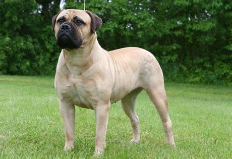 bullmastiff colors bullmastiff world