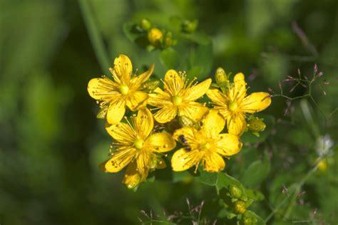 iperico fiore significato dei fiori l iperico pollicegreen