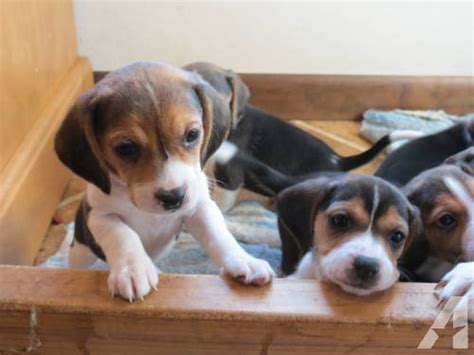 beagle puppies for sale in illinois akc beagle puppies for sale in milledgeville illinois classified americanlisted