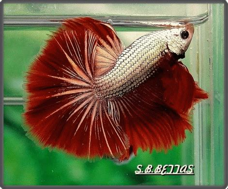 Plakat Thai by Sb Bettas Historia Betta Plakat Thai