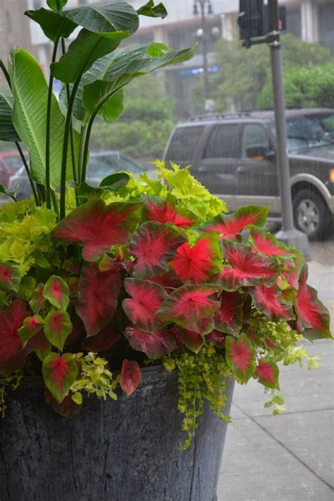 large container gardening large container planting lime foliage shade plants
