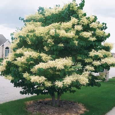 lilac tree information japanese tree lilac information pictures to pin on