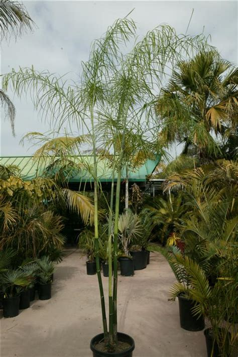 palms  house plants culture  palm houseplants