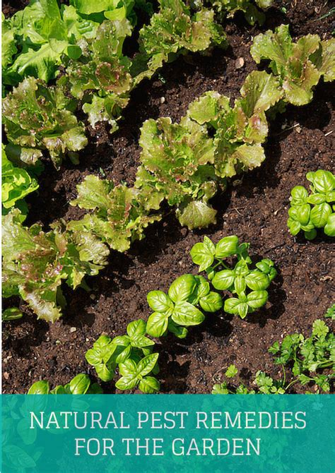 home remedies for garden pests pest remedies for the garden