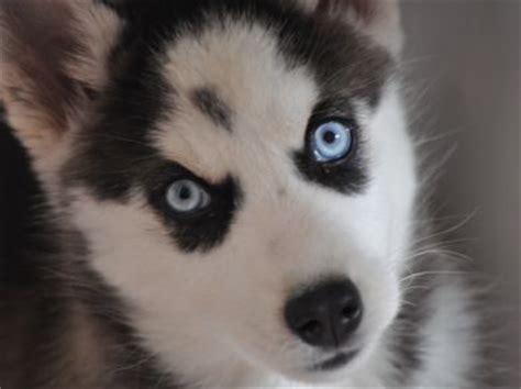 husky con occhi diversi il siberian husky 232 un scappa vero o falso