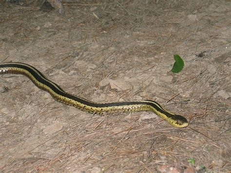 Garter Snake How Big A Big Garter Snake Flickr Photo
