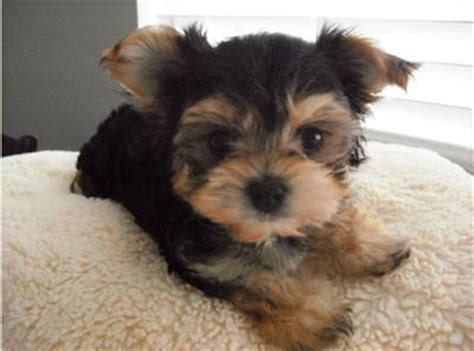yorkies morkies and more adorable black and morkie puppy i want one morkie puppies