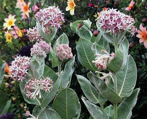 Milkweed Garden by Milkweed An Airbnb For Migrating Butterflies In Your