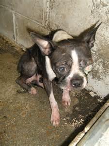 Boston Terrier Rescue Boston Terrier Rescue Net