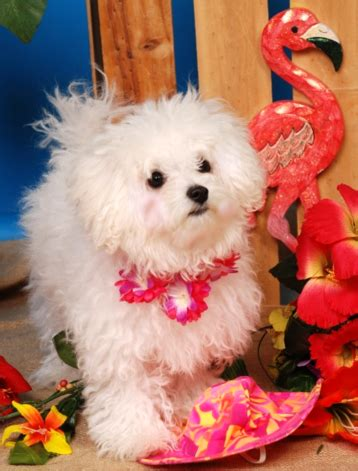 white bolognese puppies sale bolognese puppies for sale in michigan breeds picture