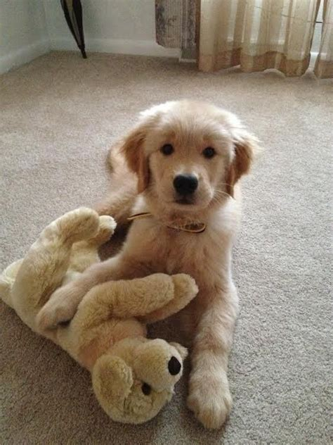 25 best ideas about golden puppy on pinterest cachorros