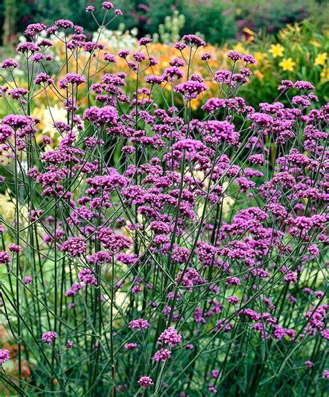 Garten Pflanzen Nicht Winterhart by Eisenkraut Staude Nicht Giftig Bedingt Winterhart
