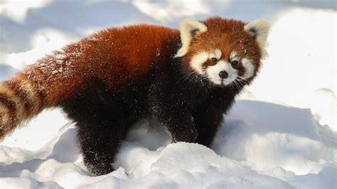 read panda animals on polar bears pandas and giraffes
