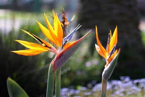 bird paradise flower learn how to grow a bird of paradise plant