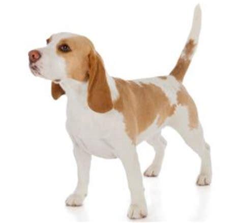 beagle colors beagle lovetoknow