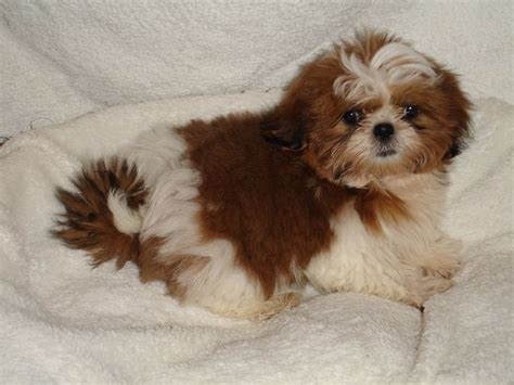a shih tzu puppy shih tzu puppies wallpaper and pictures