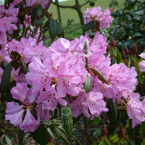 a big photo of rhododendron rubiginosum from findmeplants