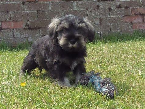 schnauzer dogs for sale miniature schnauzer puppies for sale carlisle cumbria pets4homes