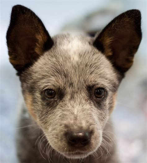 blue heeler puppies for sale in ky pin blue heeler puppies for sale in middlesboro kentucky classifieds on