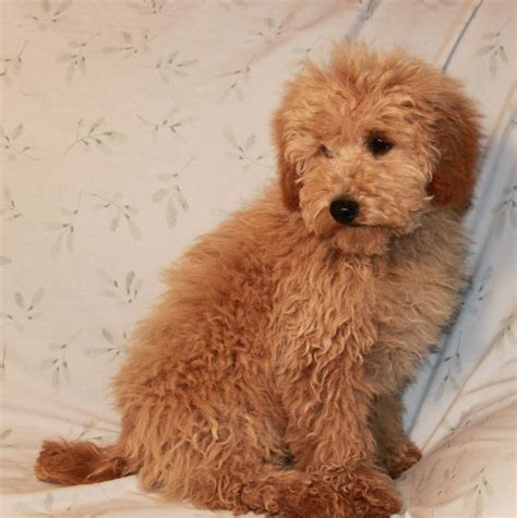 alternative poodle styles images toy poodle grooming styles www pixshark com images