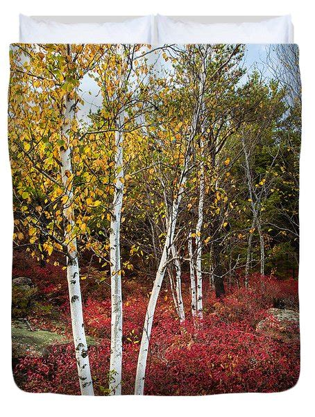 maines acadia national park white birch tree photo photograph  bill swindaman
