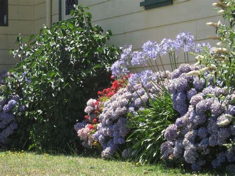 agapanthus fiore agapanthus fiori cura e coltivazione agapantus