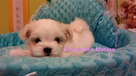 puppies free healthy maltese puppies for free adoption