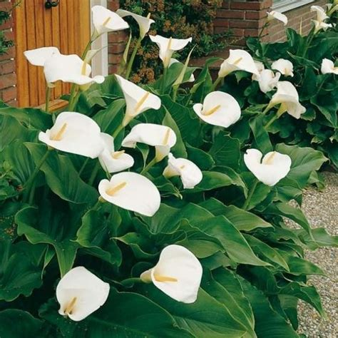 Calla Pflanze Kaufen by Calla Crowsborough G 228 Rtner P 246 Tschke