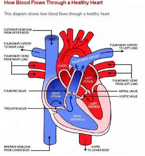 photo heart layout simple human heart diagram anatomy organ