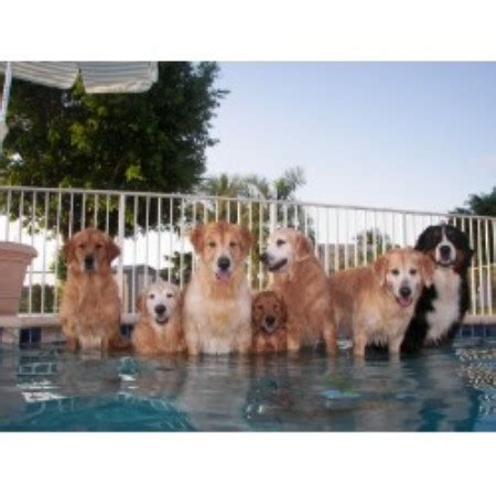 golden retriever breeders south florida golden retriever breeders in south dakota freedoglistings breeds picture
