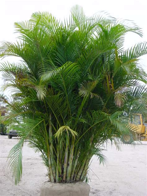 areca palm palm trees