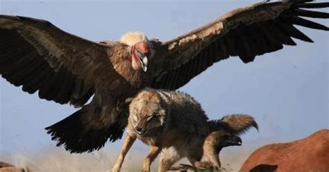 the griffon vulture is 37 48 in long with a 7 5 9 2 ft