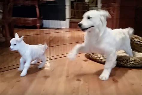 golden retriever puppy and baby golden retriever puppy meets a baby goat