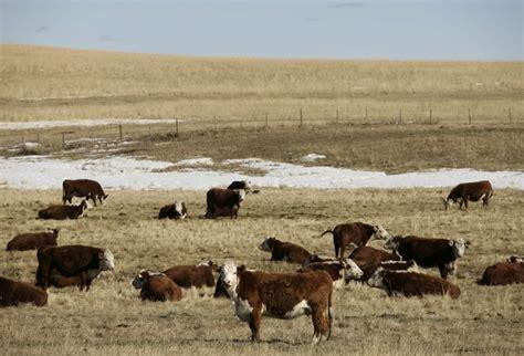 cme feeder cattle klassen feeder cattle market surges