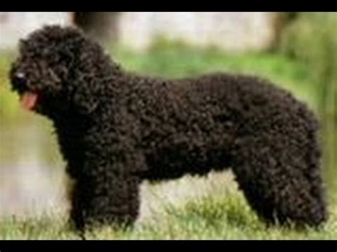 Types Of Dogs With Curly Hair by Barbet Is This Curly Haired Right For You Check