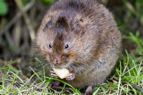 garden rodents types voles autos post