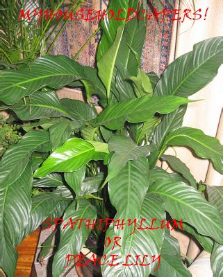 most common house plants pictures my household capers gardening easy care indoor plants spathiphyllum or peace