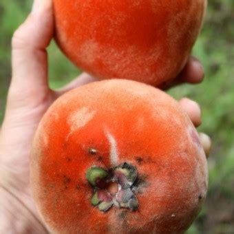 tanaman bisbul mabolo velvet apple bibitbungacom