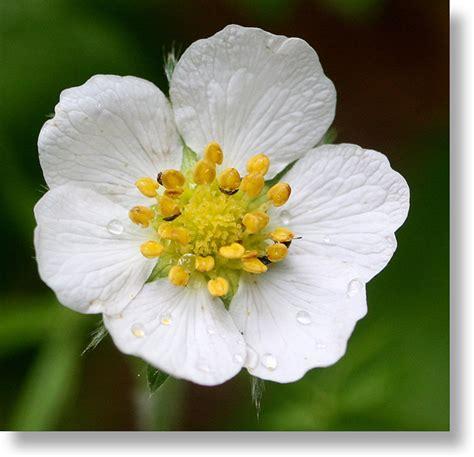 flowers bloom yosemite wildflowers wood strawberry fragaria vesca flower