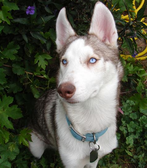 Do Huskys Shed by Is That Your In The Picture Cause Those