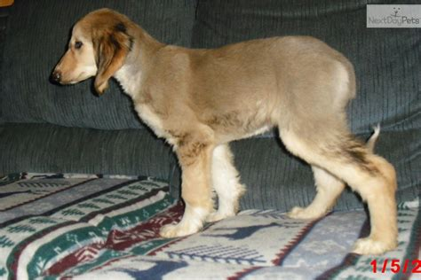 akc afghan hound puppies for sale meet shasta a afghan hound puppy for sale for 600 shasta