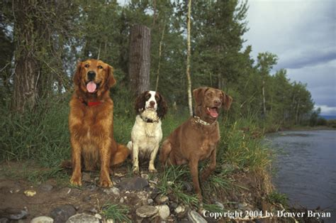 golden retriever springer spaniel denver bryan images on the wildside