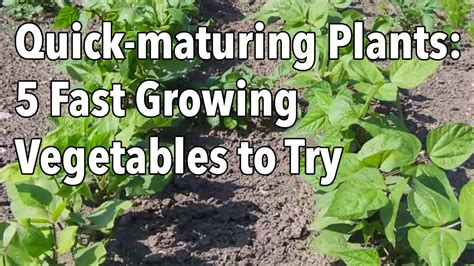 quick maturing plants  fast growing vegetables