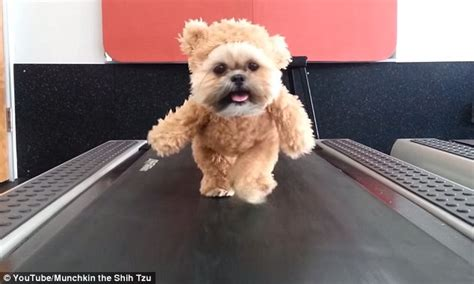 munchkin the shih tzu munchkin the shih tzu hits the treadmill in impossibly teddy suit