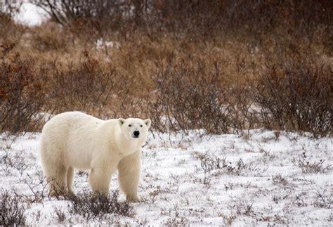 polar bears high low in churchill churchill polar bears