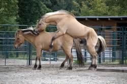 esel beim decken paarung der pferde informatives
