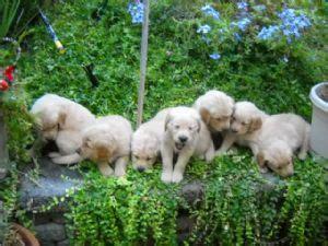 golden retriever puppies for sale in fresno ca golden retriever puppies for sale