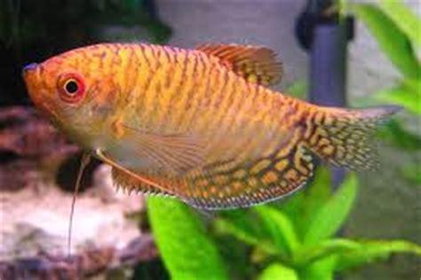 Senar Pancing Hcn ikan sepat arsip mancing ikan mania 2018 mancing ikan